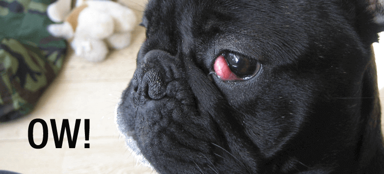 cherry-eye-french-bulldog1